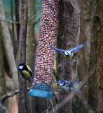 Blue tits in flight Royalty Free Stock Photos