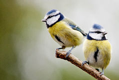 Blue tits. Pair of Blue Tits perched on a tree branch and looking away from each other. Having a domestic. Not speaking Stock Images