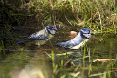Blue tits take a bath Stock Photos