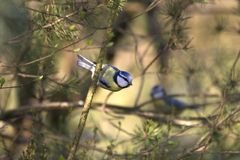 Blue tits in a tree. On the Kemper heide, Netherlands Stock Image