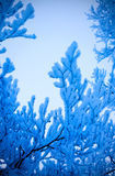 Blue tone snowy branches Royalty Free Stock Images
