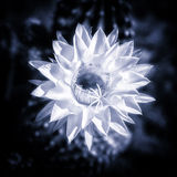 Blue toned cactus flower in bloom Royalty Free Stock Image