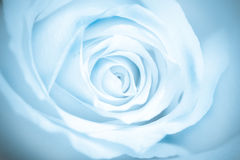 Blue toned macro rose Stock Images