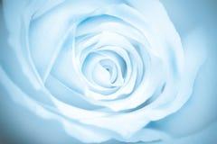 Blue toned macro rose stock images