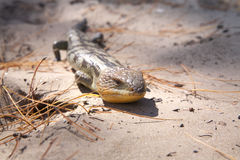 Blue tongue lizard Stock Photography