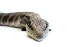 Blue Tongue Lizard #3 Stock Photo