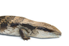 Blue Tongue Lizard #5 Stock Image