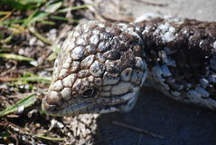 Blue tongue lizard 6 Stock Photo