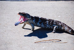Blue tongue lizard 7 Stock Photo