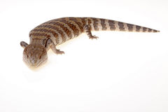 Blue tongue lizard Stock Photos