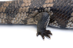Blue Tongue Lizard foot detail Stock Images