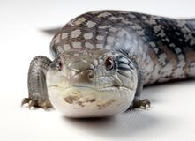 Blue tongue lizard Stock Photo