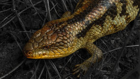 Blue Tongue Lizard stock image