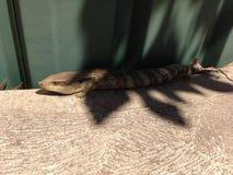 Blue-tongue lizard Royalty Free Stock Photos