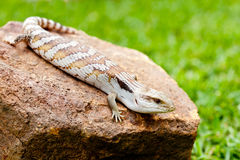 Blue Tongue Lizard on rock outdoors Stock Images