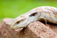 Blue Tongue Lizard on rock outdoors Royalty Free Stock Image