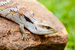 Blue Tongue Lizard on rock outdoors Stock Image