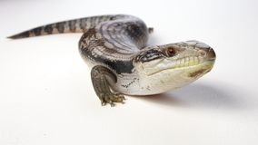 Blue tongue lizard Royalty Free Stock Images