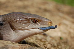 Blue Tongue Skink. Lizard showing his tongue. Cptive animal, Picture taken in UK stock photo
