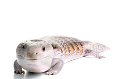 Blue Tongue Skink. On a White Background royalty free stock photo