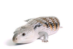 Blue Tongue Skink. On a White Background royalty free stock image