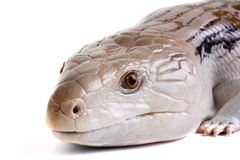 Blue Tongue Skink. On a White Background stock images