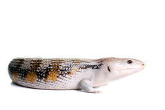 Blue Tongue Skink. On a White Background stock image