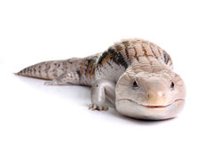Blue Tongue Skink. On a White Background stock photos