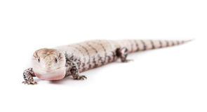 Blue Tongued Lizard. Picture of a Blue Tongued Skink On a white background Stock Photo