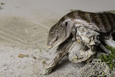 Blue tongued lizard Royalty Free Stock Image