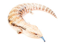 Blue-tongued skink Stock Image