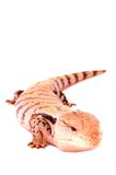 Blue Tongued Skink. An image of a Blue Tongued Skink, this is a captive animal and exotic pet Stock Photography
