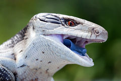 Blue Tongued Skink. Body length 35cm royalty free stock photos
