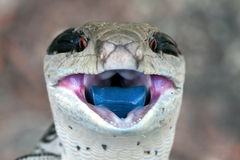 Blue Tongued Skink Royalty Free Stock Photos