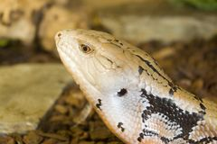 Blue Tongued Skink. Head royalty free stock images