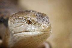 Blue Tongued Skink Royalty Free Stock Photo