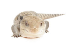 Blue Tongued Skink. Closeup of blue tongued skink isolated in front of white background royalty free stock photo