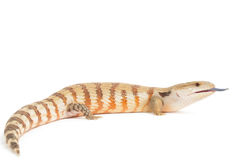 Blue Tongued Skink Stock Photography