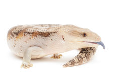 Blue Tongued Skink Stock Photos