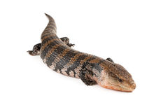 Blue-Tongued Skink Royalty Free Stock Photography