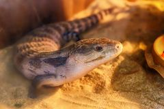 Blue-tongued skink on the sand. Blue-tongued skink living on the sand in desert semi forest royalty free stock images