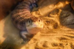 Blue-tongued skink on the sand. Blue-tongued skink living on the sand in desert semi forest royalty free stock photo