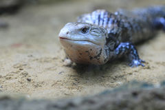 Blue-tongued skink Royalty Free Stock Image