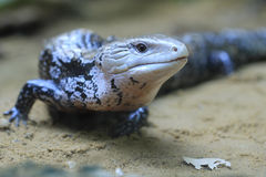 Blue-tongued skink Royalty Free Stock Images