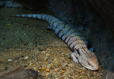 Blue-tongued skink Stock Photography