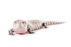 Blue Tongued skink. Picture of a Blue Tongued Skink On a white background royalty free stock photos