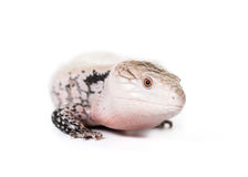 Blue-Tongued skink. Picture of a Blue Tongued Skink On a white background stock image
