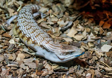 Blue tongued skink. Skink poked his blue tongue royalty free stock photo
