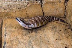 Blue Tongue Skink, Upper Hunter Valley, NSW, Australia. Blue Tongued Skink Scincidae on a concrete step in the Upper Hunter, NSW, Australia royalty free stock images