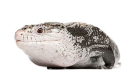 Blue-tongued skink - Tiliqua Scincoides (male) Royalty Free Stock Images